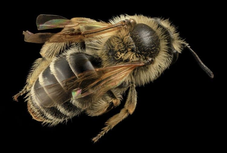 what bees are venomous
