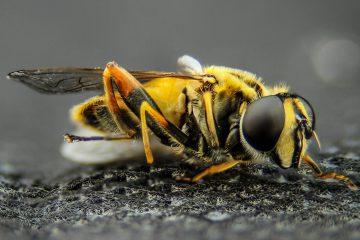 Can Bees Kill Humans