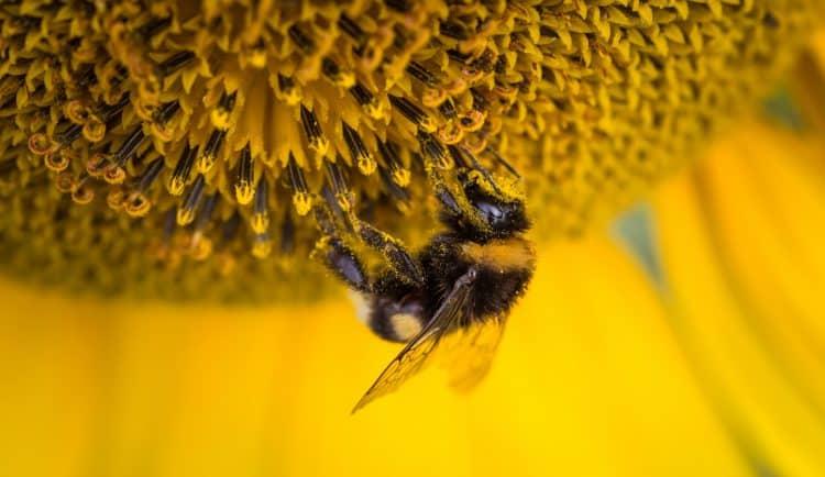 25 Bee Pollen Benefits and Side Effects | School Of Bees