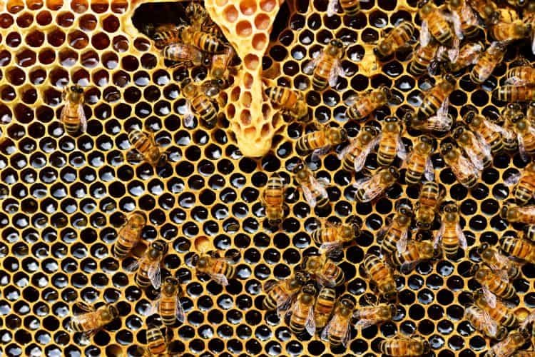 Can Bees Get Diabetes