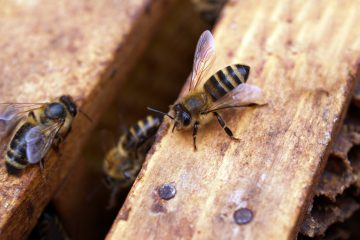 How is Labor Divided in a Colony of Honey Bees?