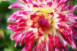 aster-flower