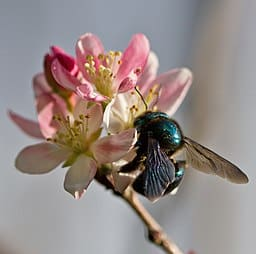 Blue_Carpenter_Bee