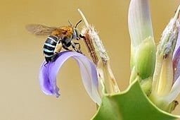 Blue_banded_bee