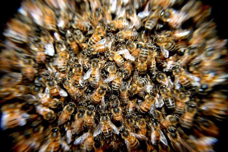 Do-Dead-Bees-Attract-More-Bees