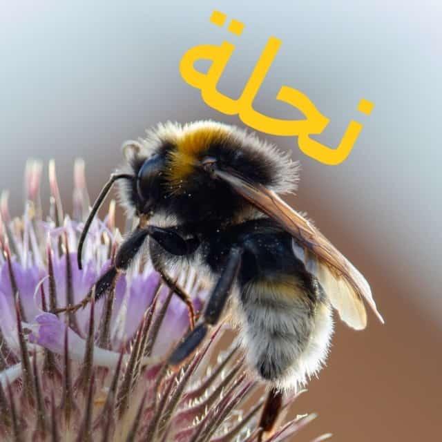 bee-in-arabic-islam