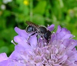 blue-mason-bee