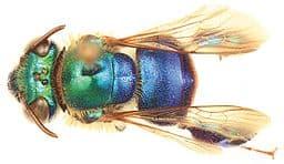 green-bee-1-Euglossa_cyanura