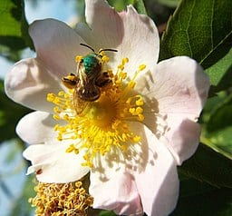 green_sweat_bee