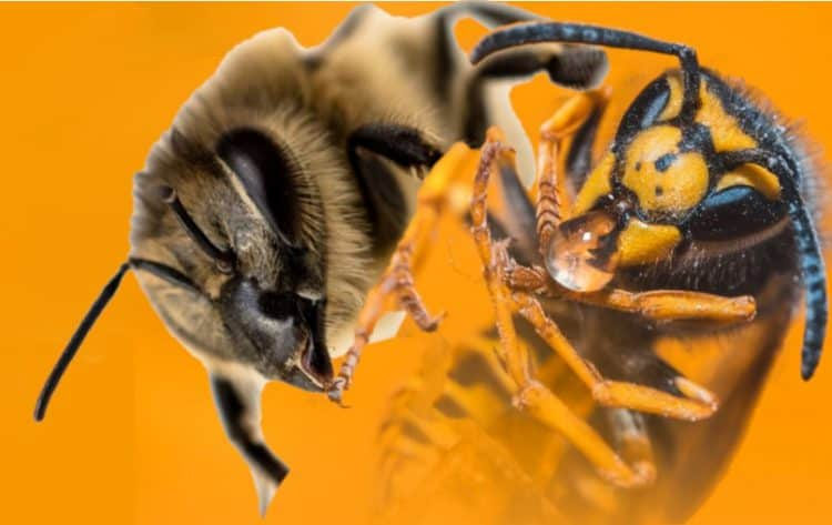 What Can Bees and Yellow Jackets Chew Through? | School Of Bees