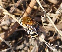 yellow-Digger-Bee