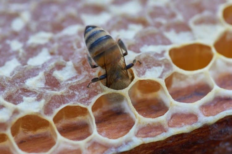 are-bees-born-fully-grown