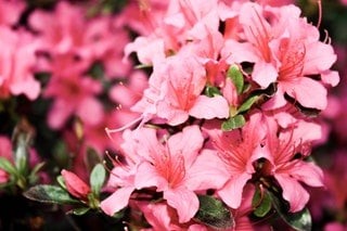 Are wasps attracted to Azaleas?