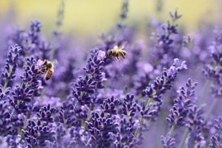 Are wasps attracted to Lavender?