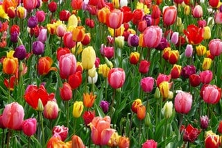 Are wasps attracted to Tulips?