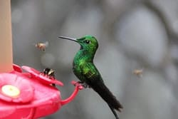 can-bees-harm-hummingbirds
