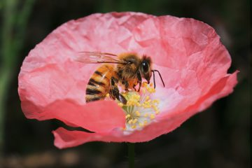 how-do-bees-transfer-pollen