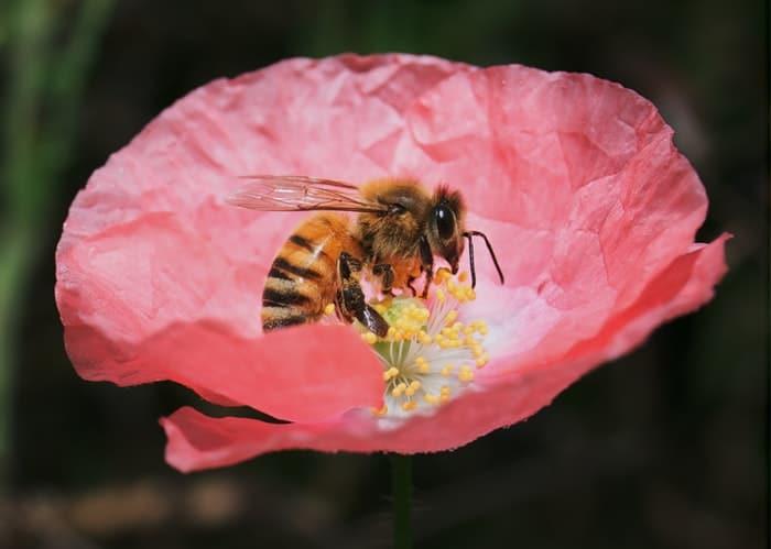 how-do-bees-transfer-pollen