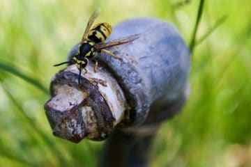 why-do-yellow-jackets-nest-in-the-ground