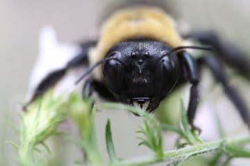 are-carpenter-bees-bad