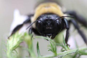 are-carpenter-bees-bad