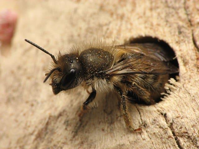 mason-bees