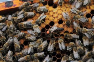 Why-Do-Beekeepers-Color Dot-Their-Queens